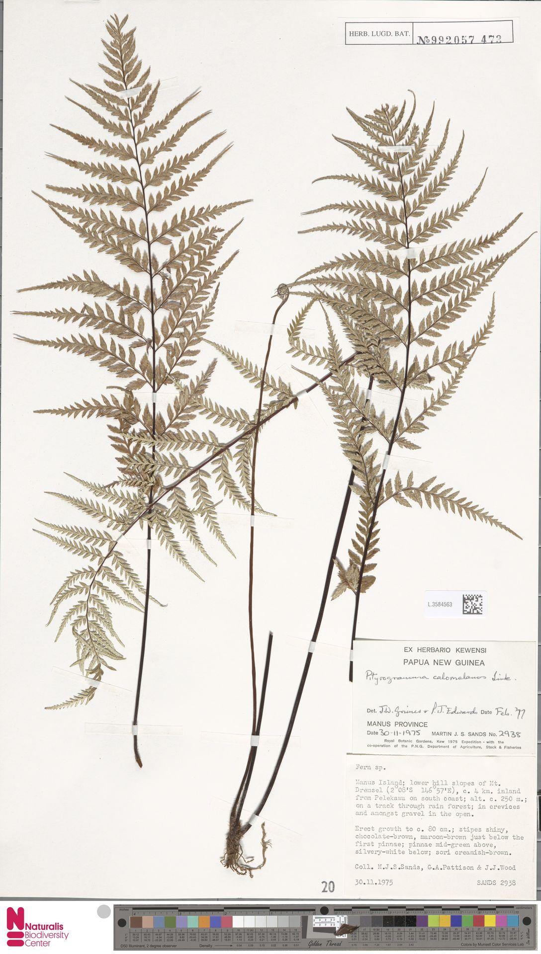 L.3584563 | Pityrogramma calomelanos (L.) Link
