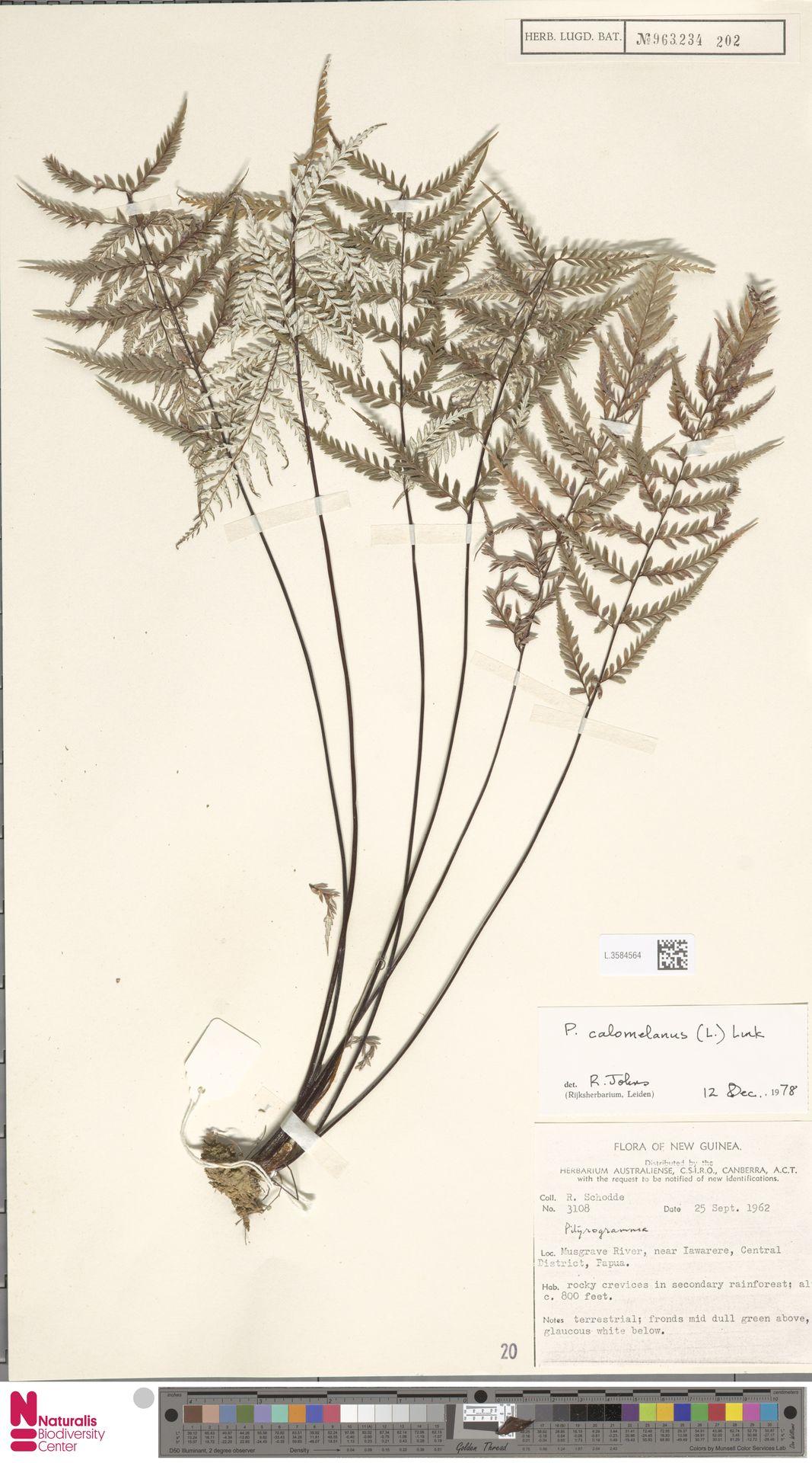 L.3584564 | Pityrogramma calomelanos (L.) Link