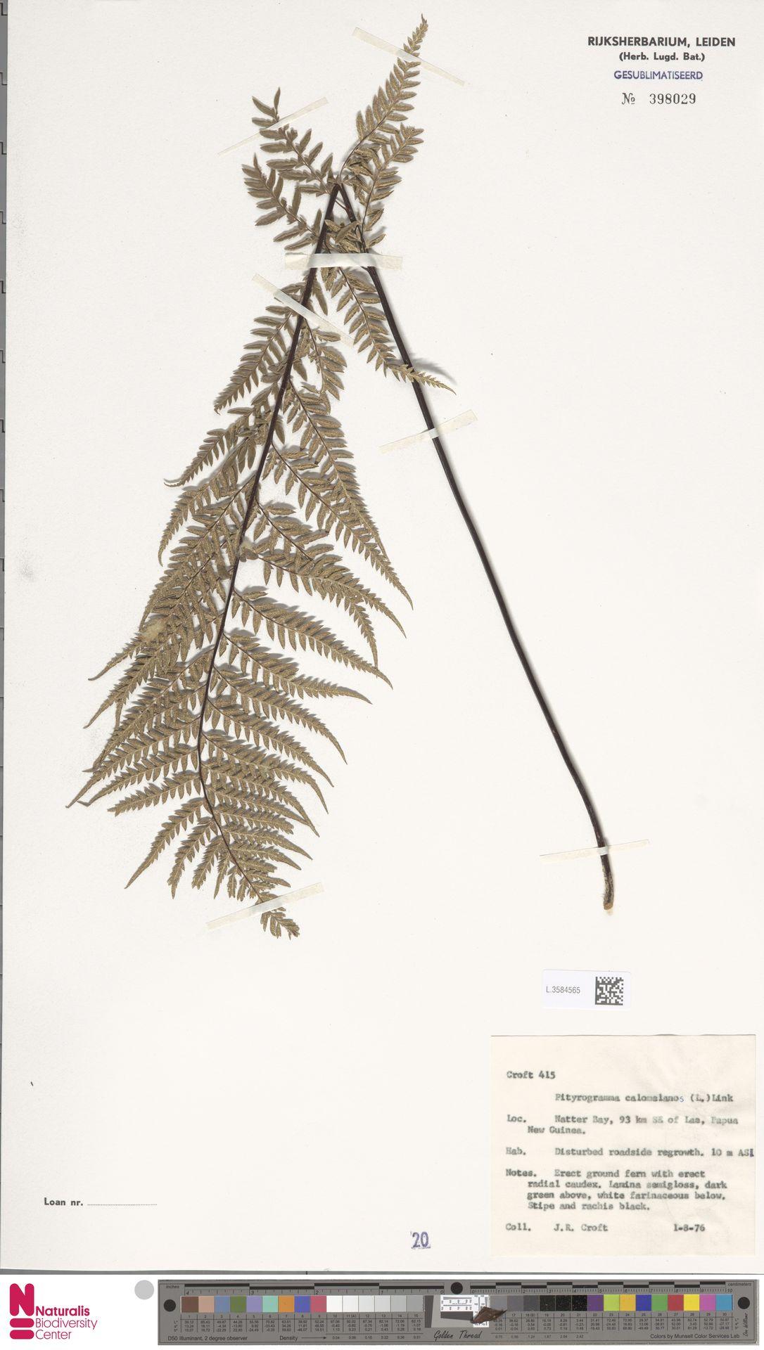 L.3584565 | Pityrogramma calomelanos (L.) Link
