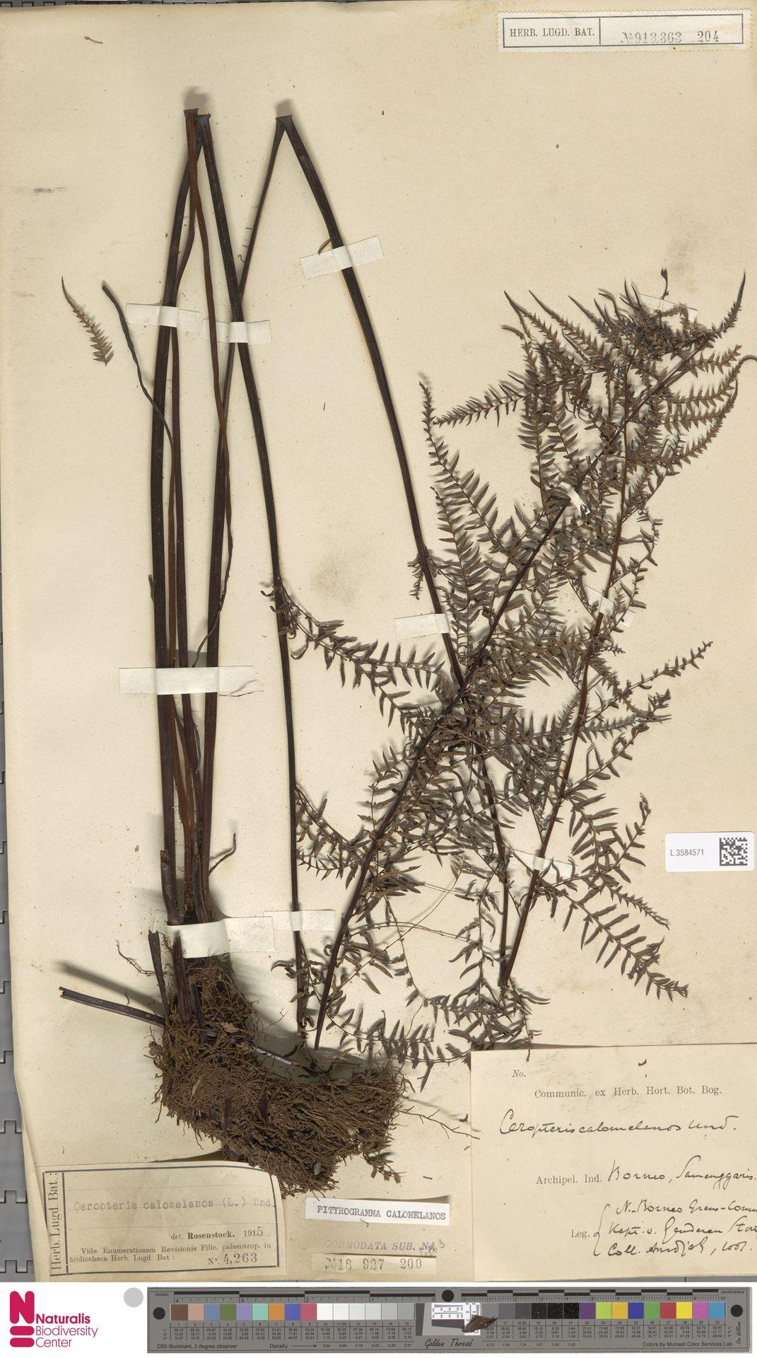 L.3584571 | Pityrogramma calomelanos (L.) Link