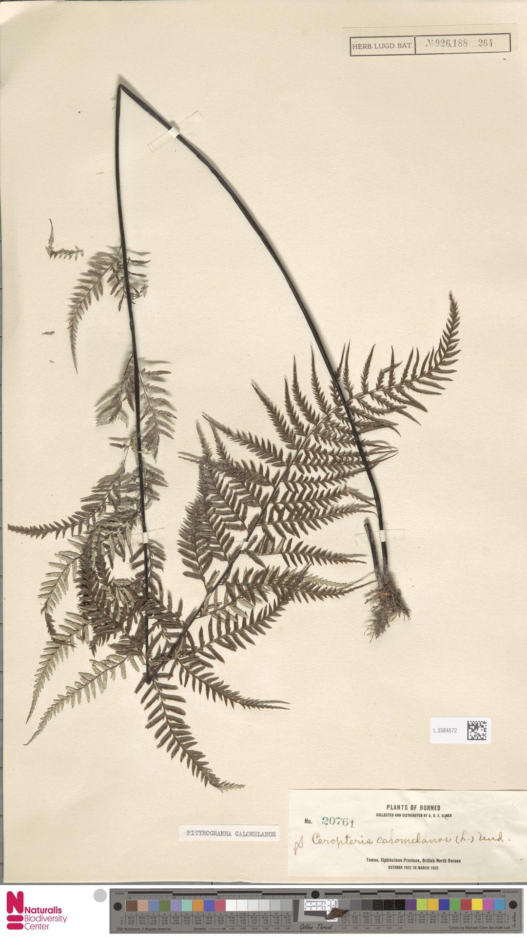 L.3584572 | Pityrogramma calomelanos (L.) Link