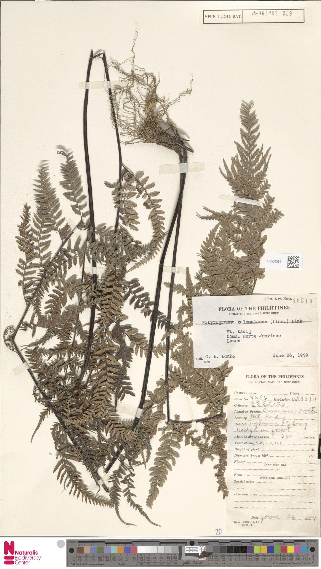 L.3584582 | Pityrogramma calomelanos (L.) Link