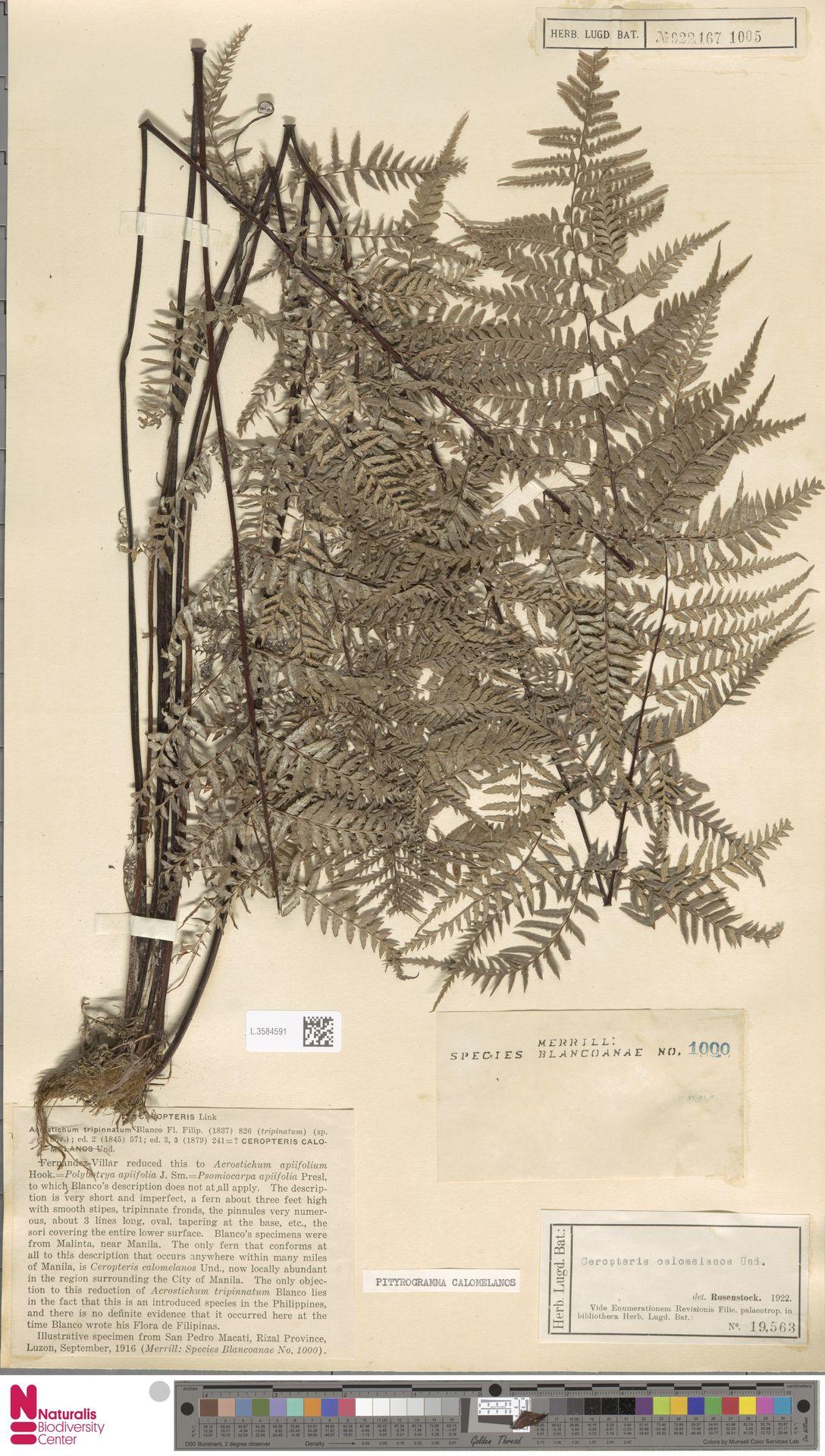 L.3584591 | Pityrogramma calomelanos (L.) Link