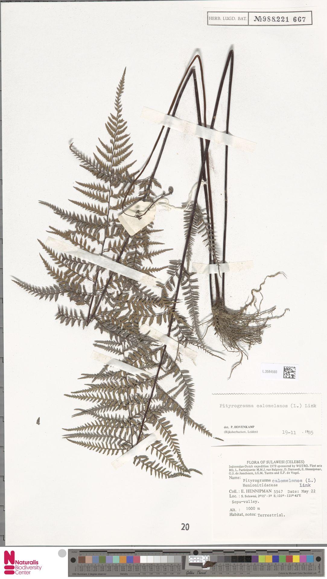 L.3584593 | Pityrogramma calomelanos (L.) Link