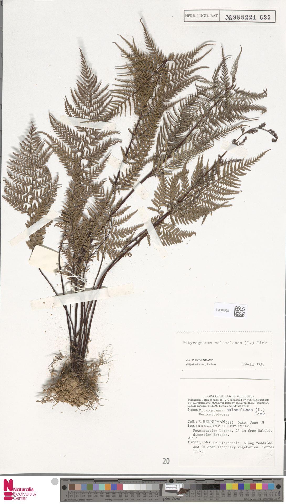 L.3584598 | Pityrogramma calomelanos (L.) Link