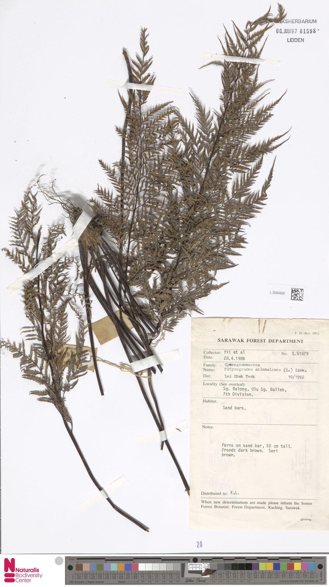 L.3584600 | Pityrogramma calomelanos (L.) Link