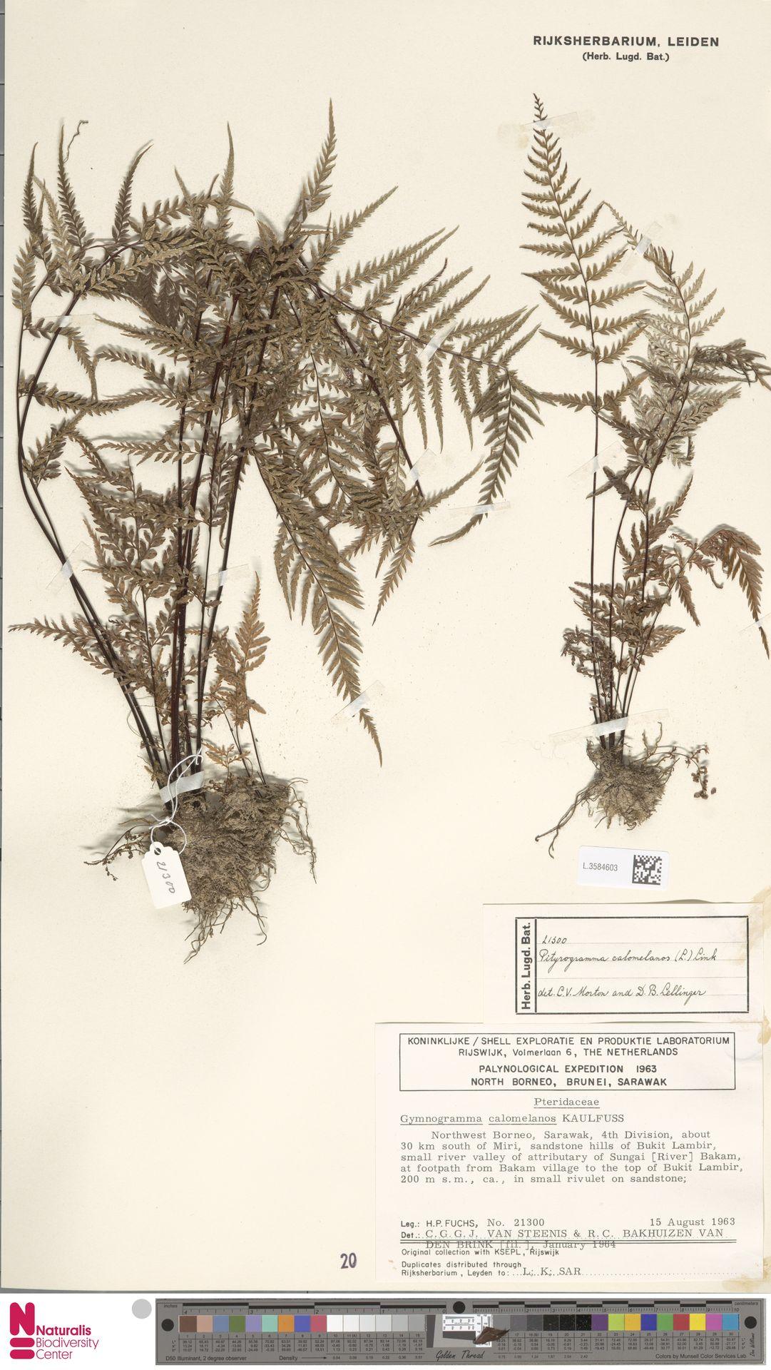 L.3584603 | Pityrogramma calomelanos (L.) Link