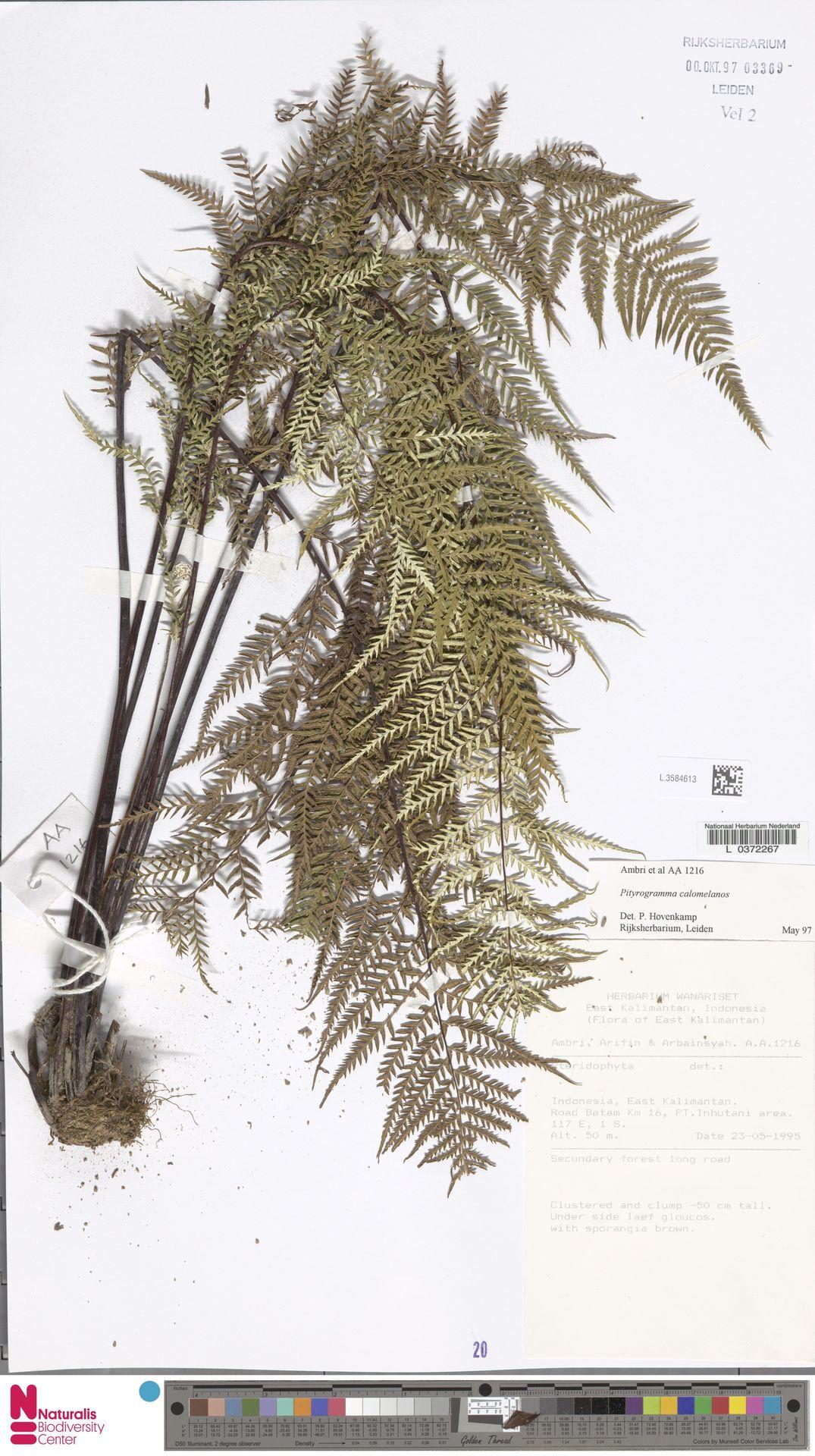 L.3584613 | Pityrogramma calomelanos (L.) Link