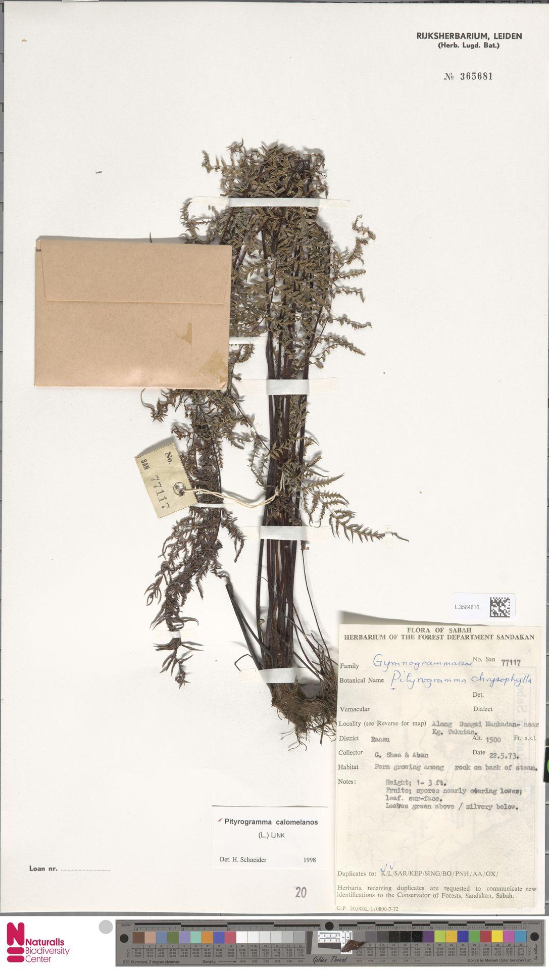 L.3584616 | Pityrogramma calomelanos (L.) Link