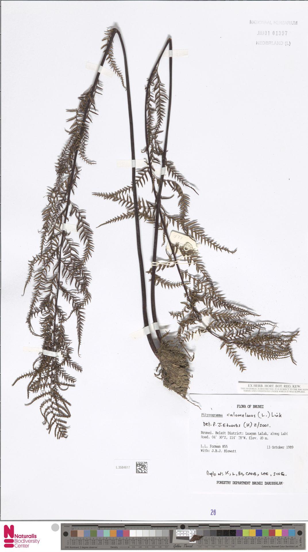 L.3584617 | Pityrogramma calomelanos (L.) Link