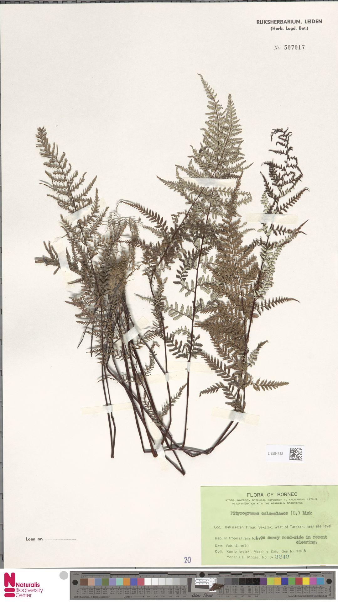 L.3584618 | Pityrogramma calomelanos (L.) Link