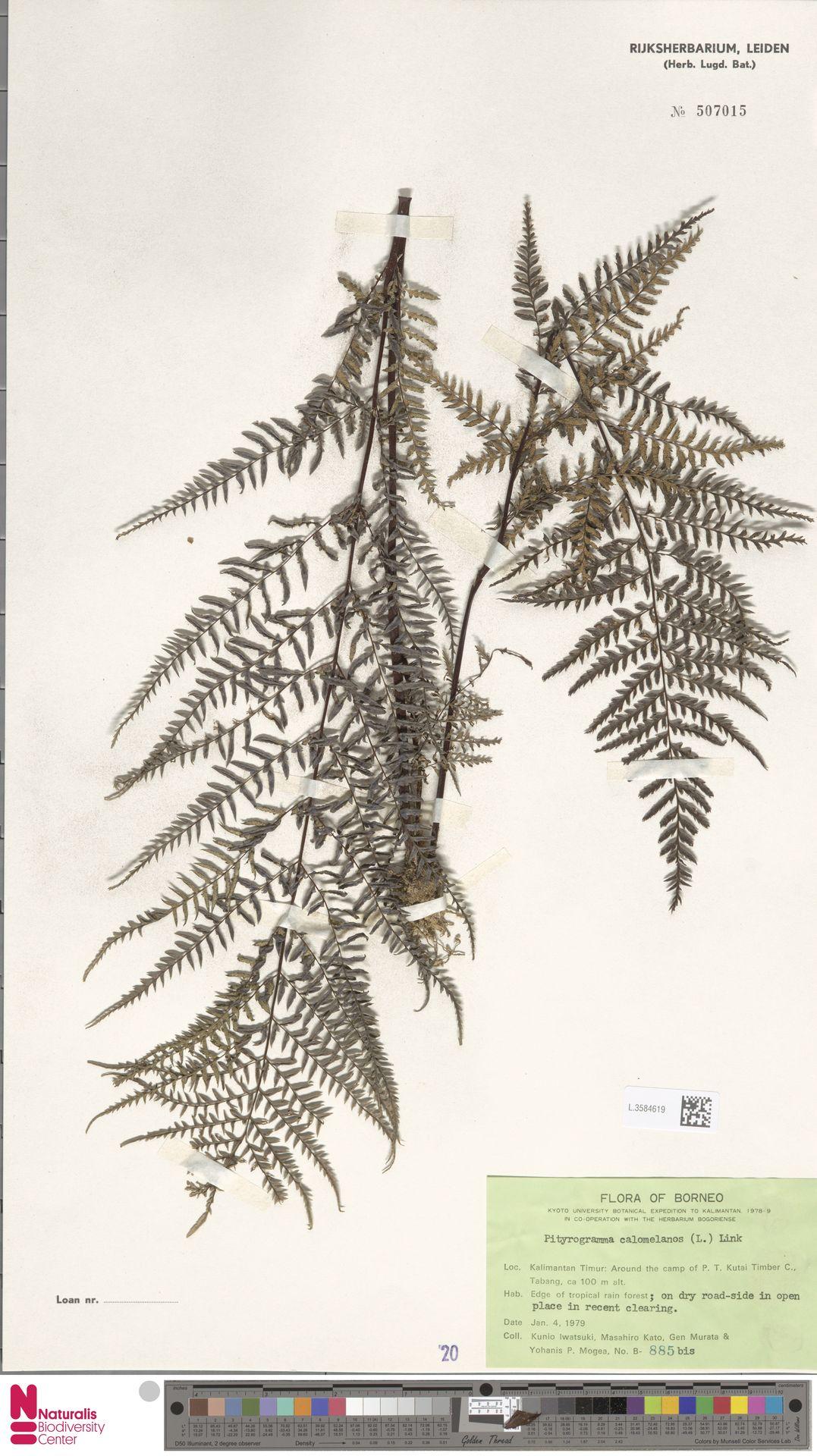 L.3584619 | Pityrogramma calomelanos (L.) Link