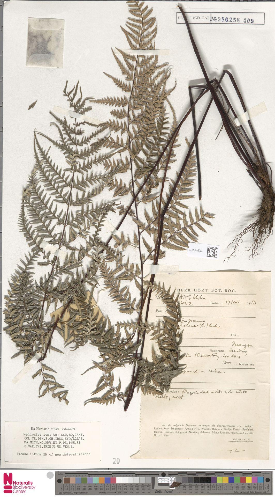 L.3584625 | Pityrogramma calomelanos (L.) Link
