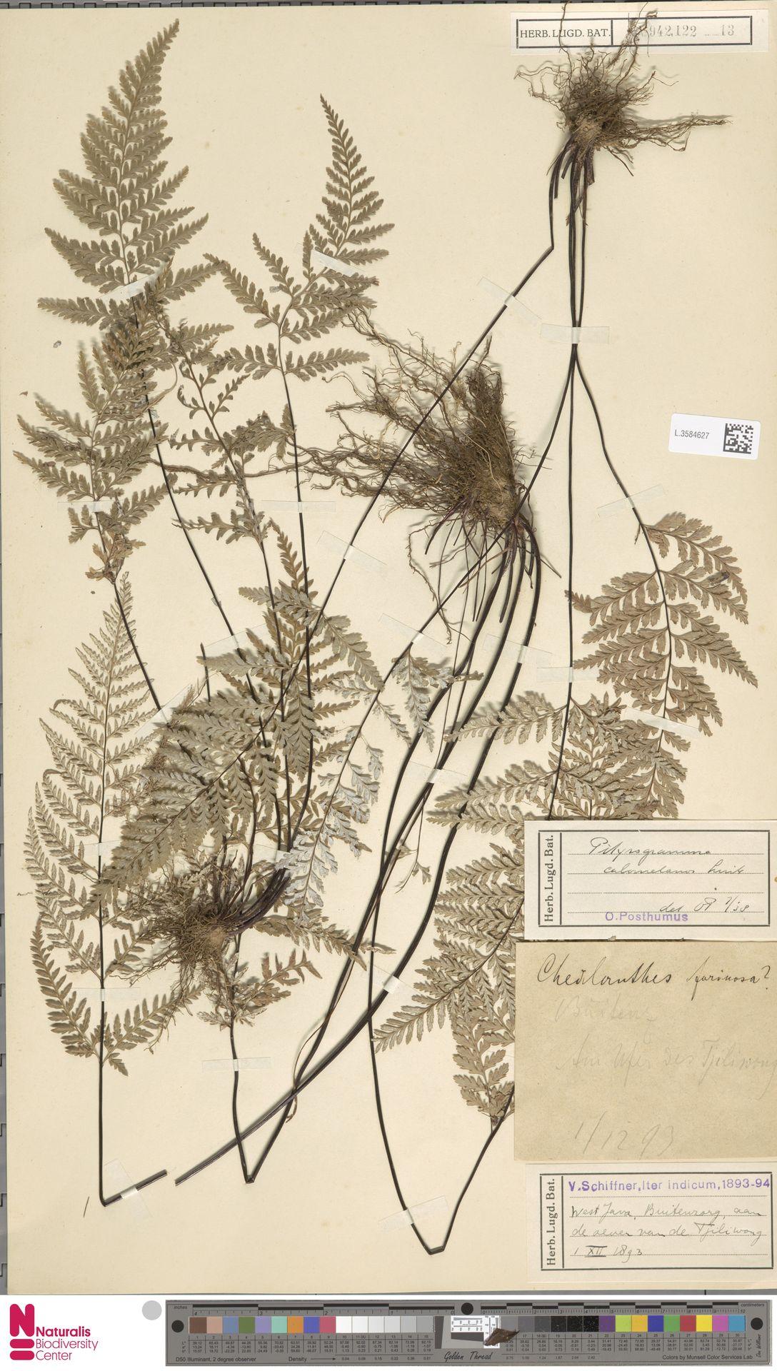 L.3584627 | Pityrogramma calomelanos (L.) Link