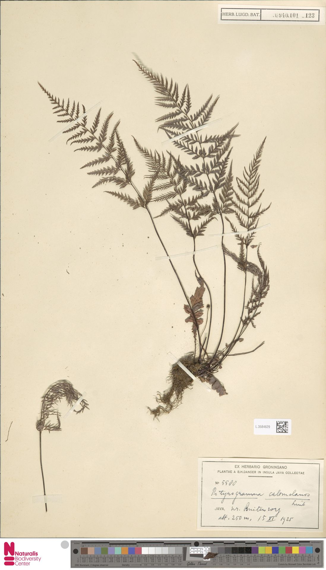 L.3584629 | Pityrogramma calomelanos (L.) Link
