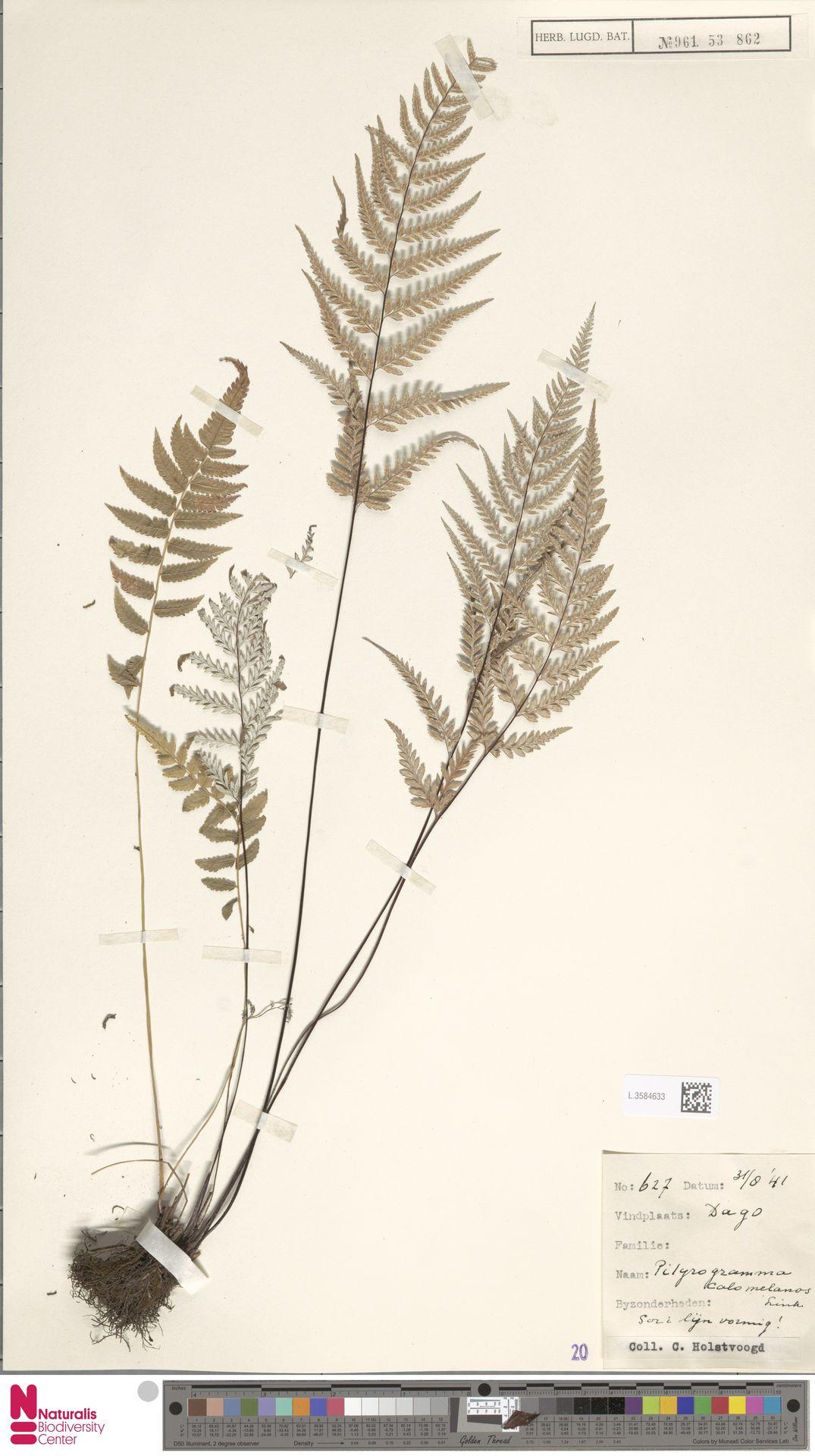 L.3584633 | Pityrogramma calomelanos (L.) Link