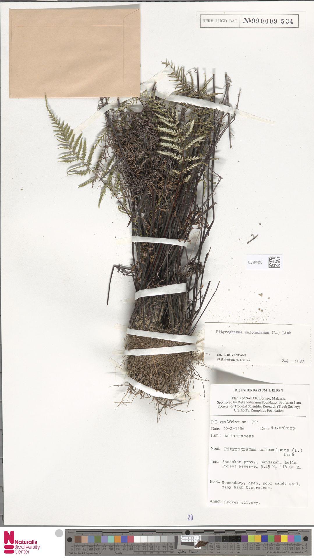 L.3584636 | Pityrogramma calomelanos (L.) Link