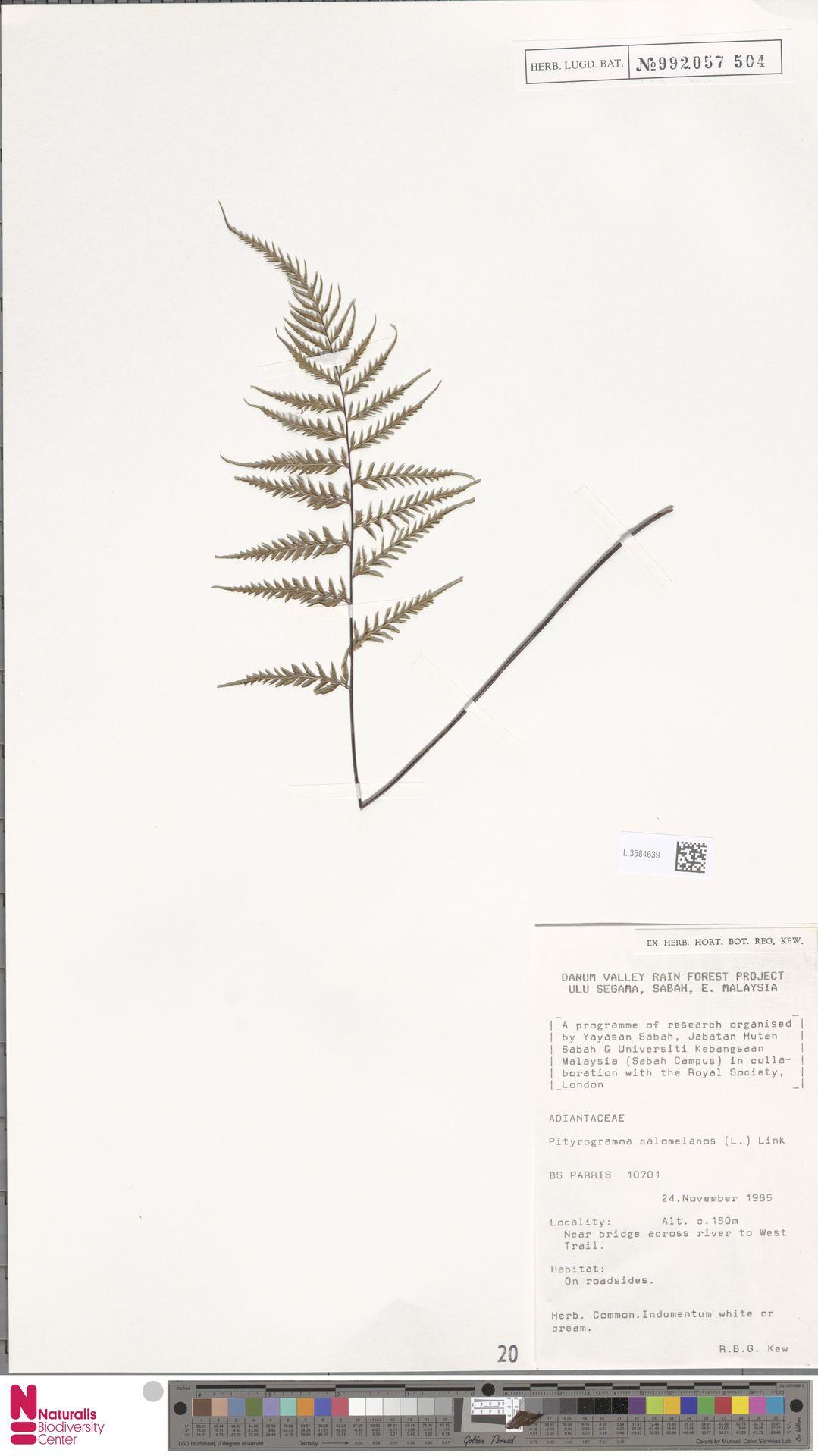 L.3584639 | Pityrogramma calomelanos (L.) Link