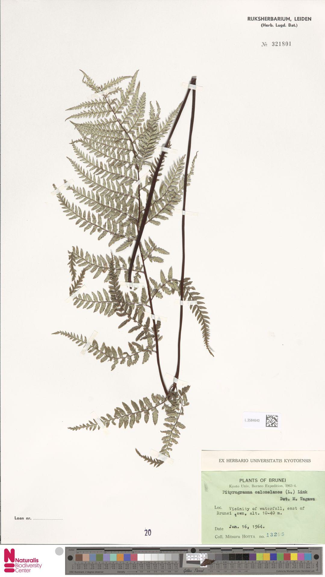 L.3584640 | Pityrogramma calomelanos (L.) Link