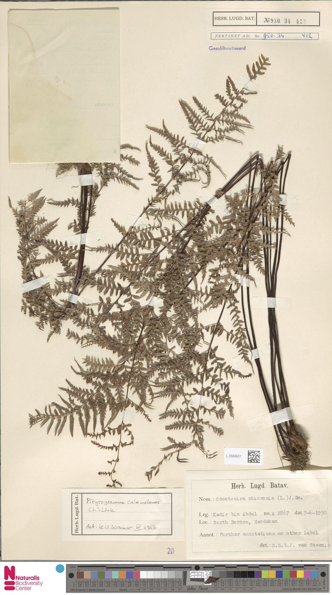 L.3584641 | Pityrogramma calomelanos (L.) Link