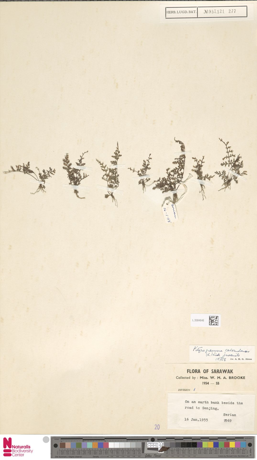 L.3584646 | Pityrogramma calomelanos (L.) Link