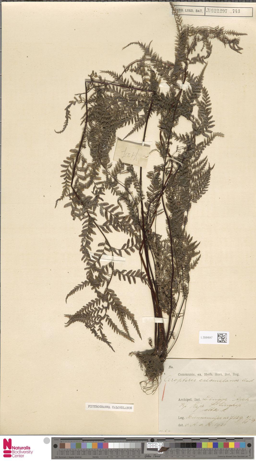 L.3584647 | Pityrogramma calomelanos (L.) Link