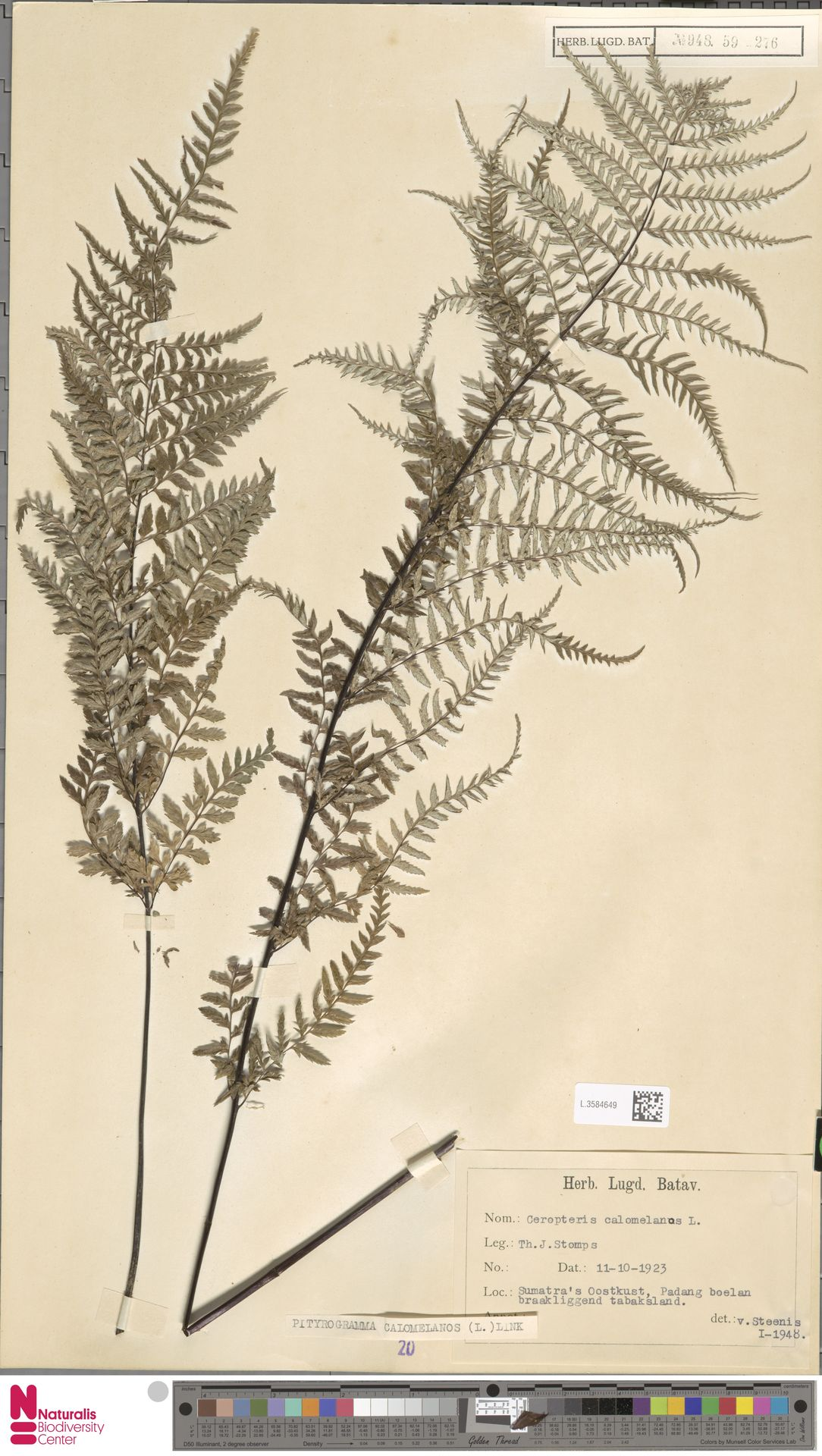 L.3584649   Pityrogramma calomelanos (L.) Link