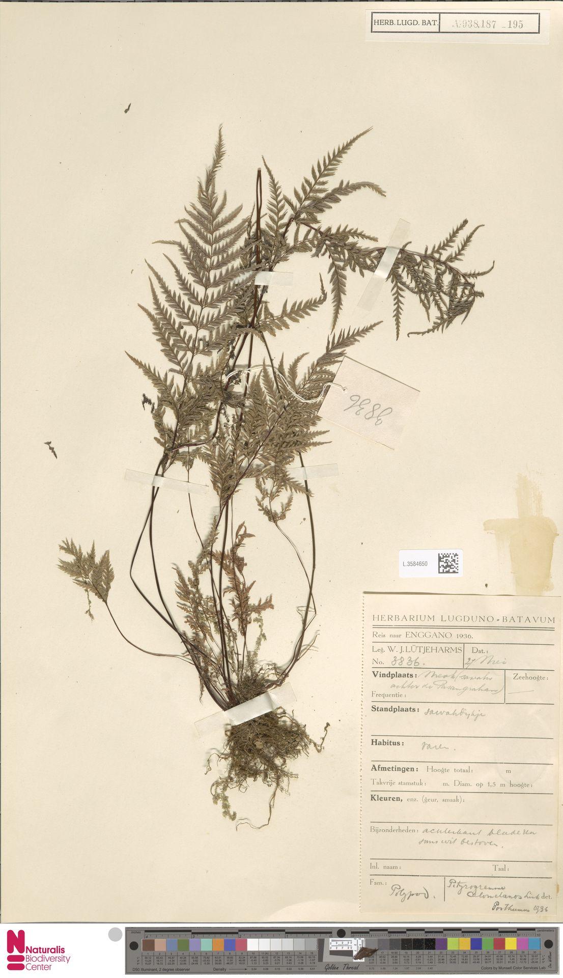 L.3584650 | Pityrogramma calomelanos (L.) Link