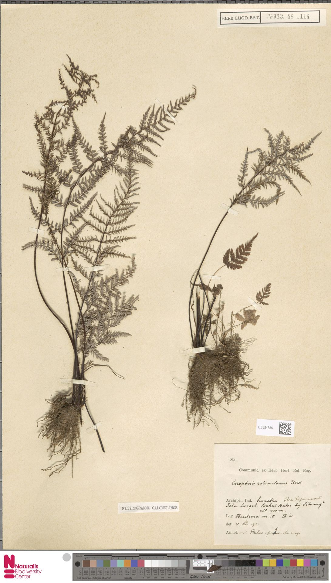 L.3584655 | Pityrogramma calomelanos (L.) Link