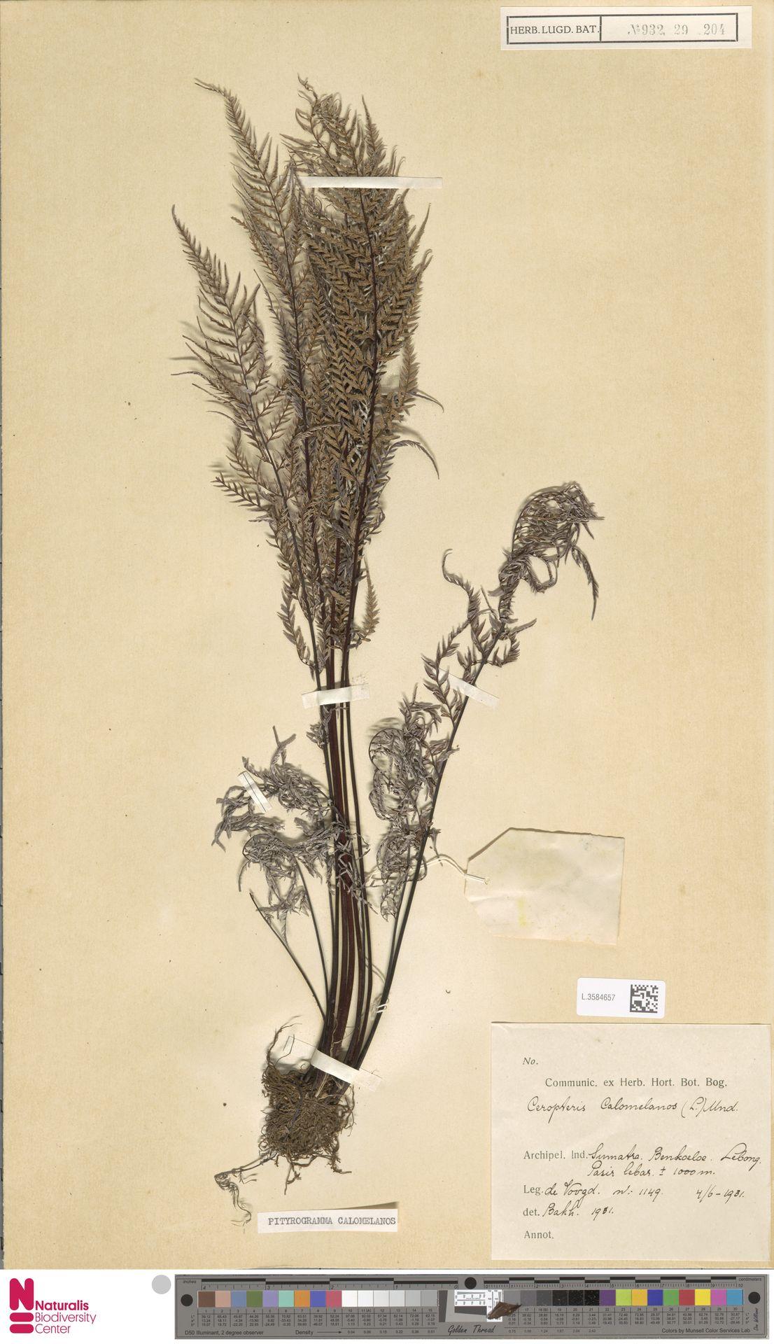 L.3584657 | Pityrogramma calomelanos (L.) Link