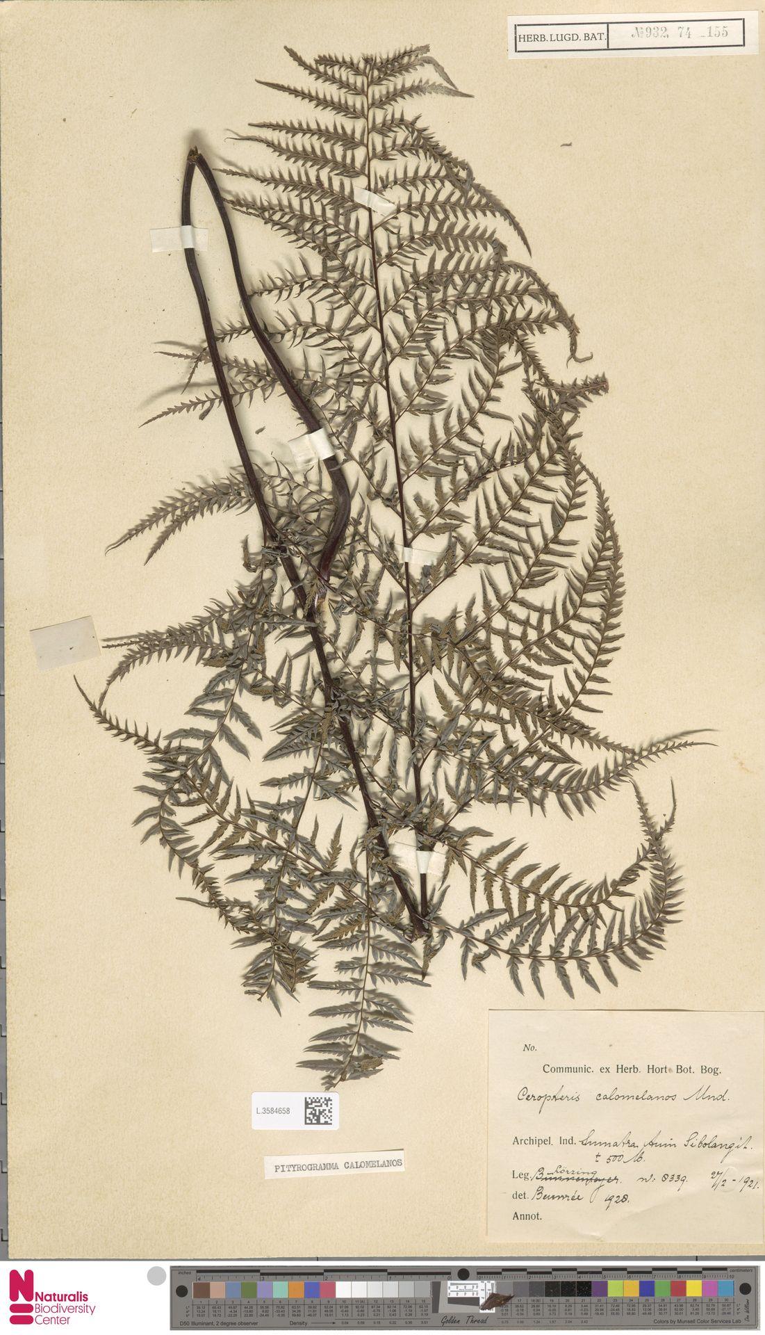 L.3584658 | Pityrogramma calomelanos (L.) Link