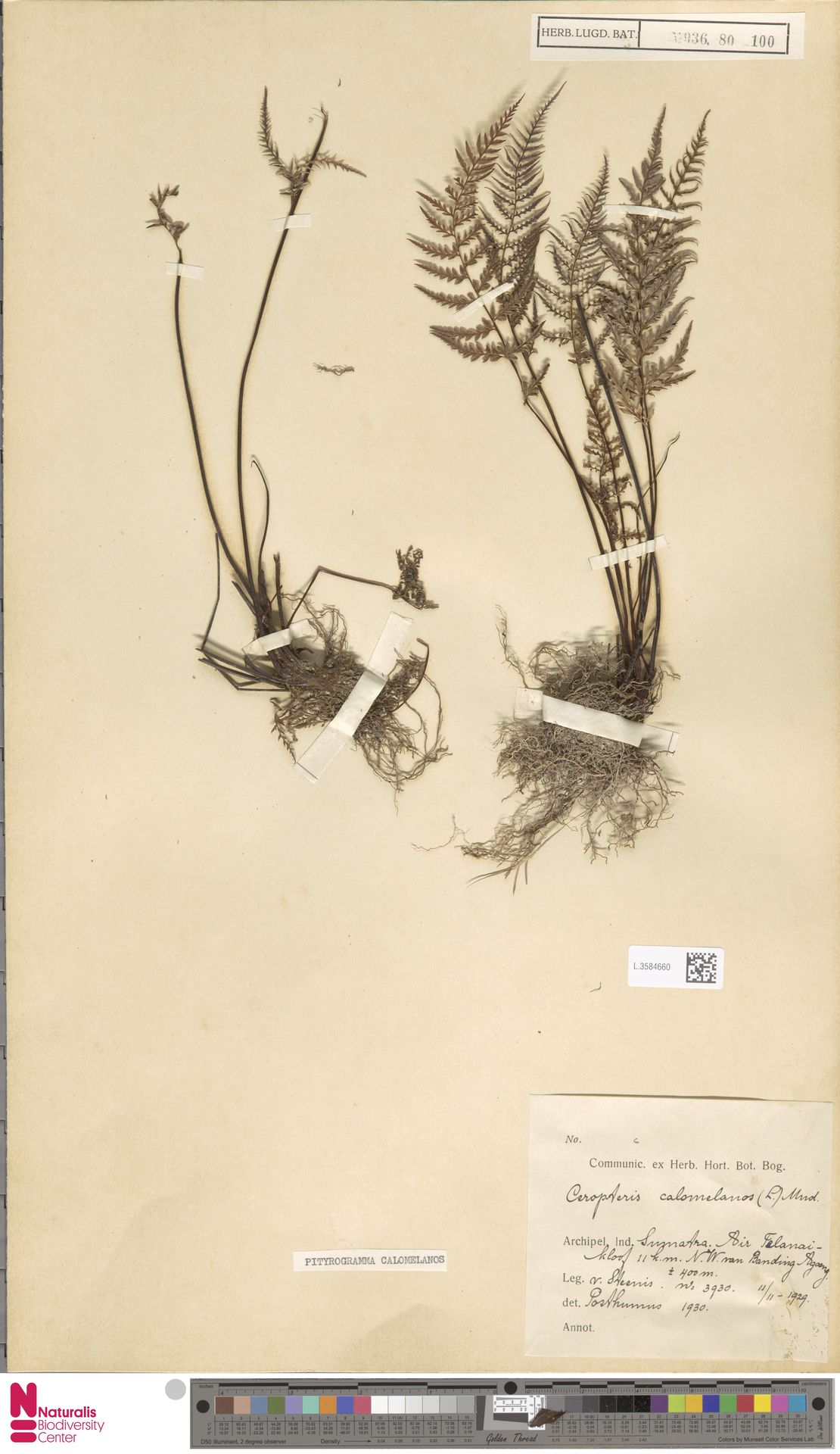 L.3584660   Pityrogramma calomelanos (L.) Link