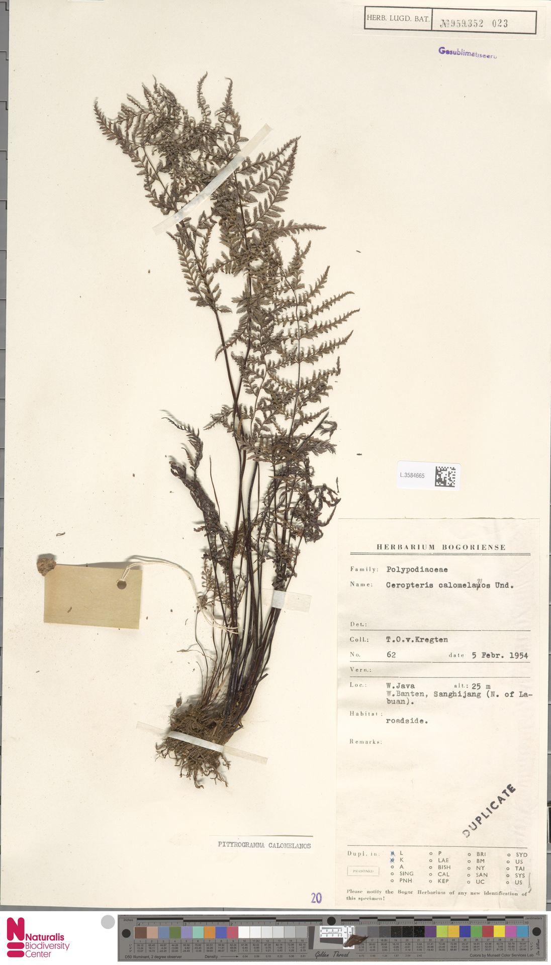 L.3584665 | Pityrogramma calomelanos (L.) Link