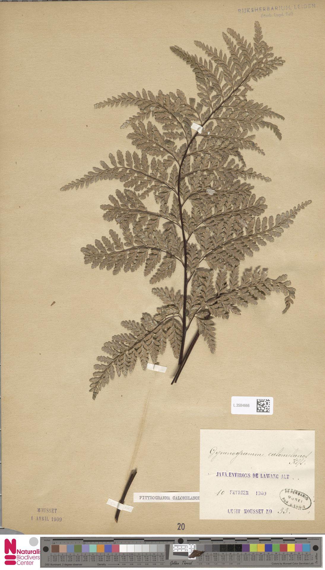 L.3584666 | Pityrogramma calomelanos (L.) Link