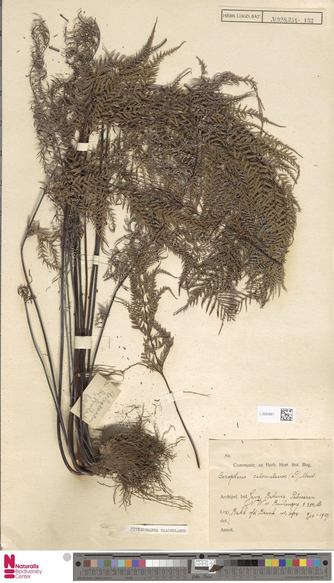 L.3584667 | Pityrogramma calomelanos (L.) Link
