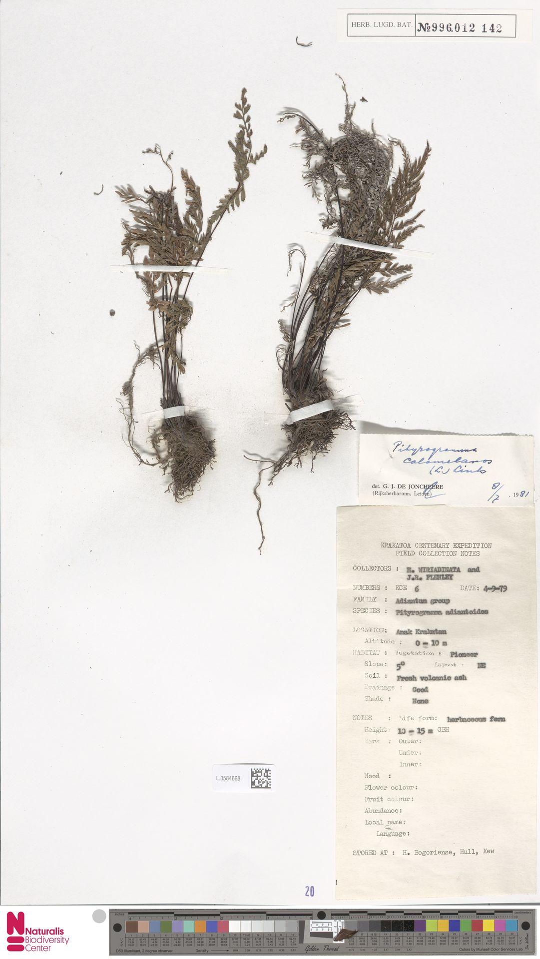 L.3584668 | Pityrogramma calomelanos (L.) Link