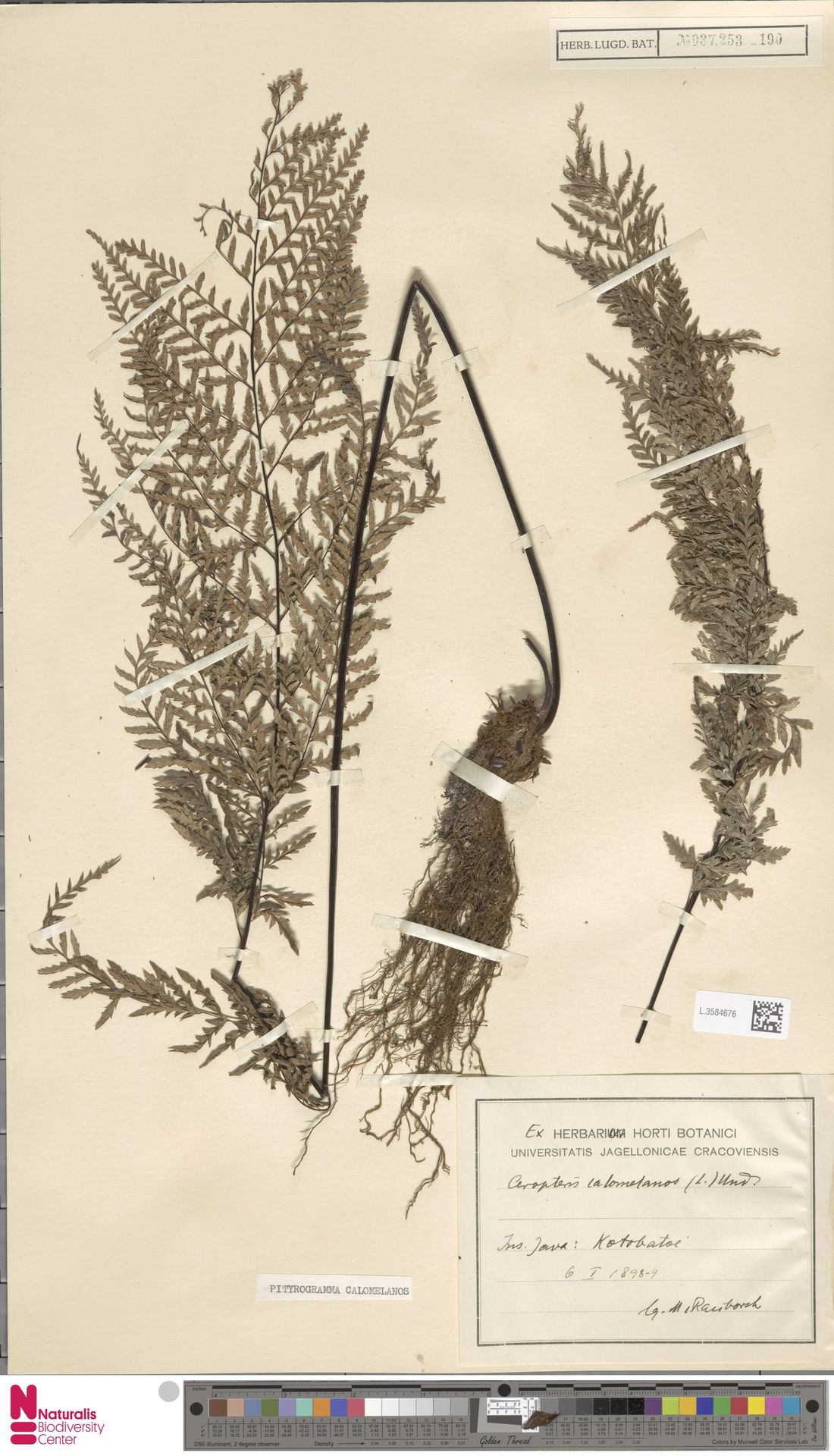 L.3584676 | Pityrogramma calomelanos (L.) Link