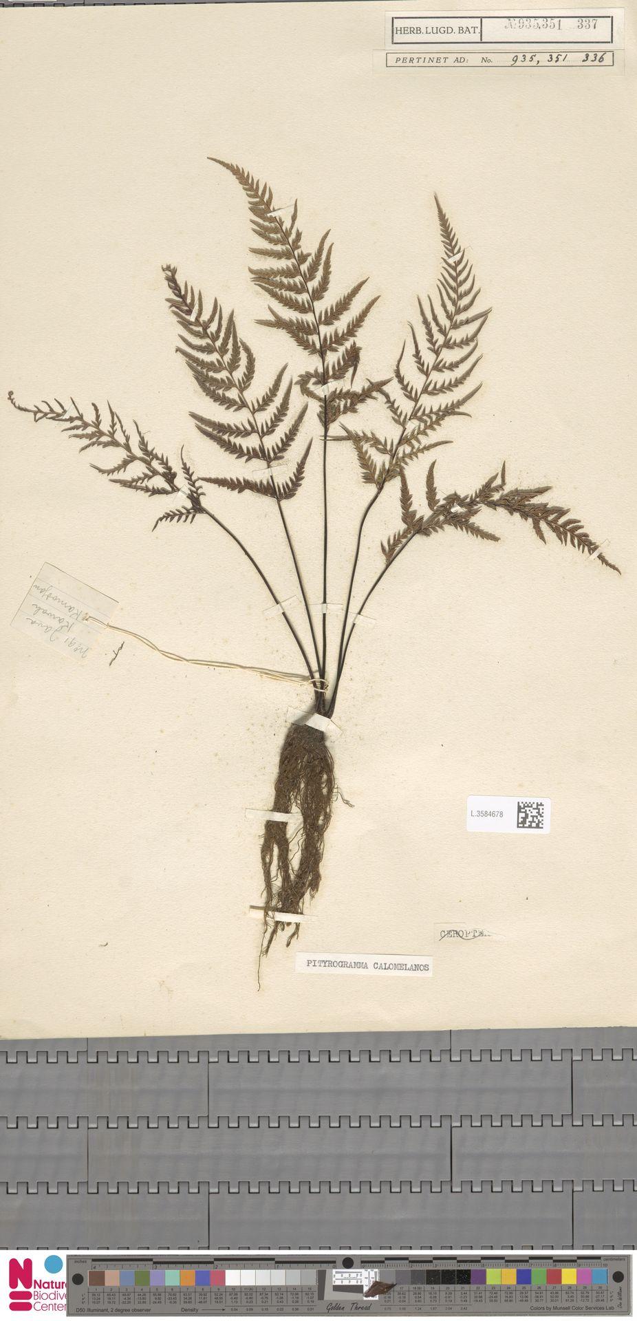 L.3584678 | Pityrogramma calomelanos (L.) Link
