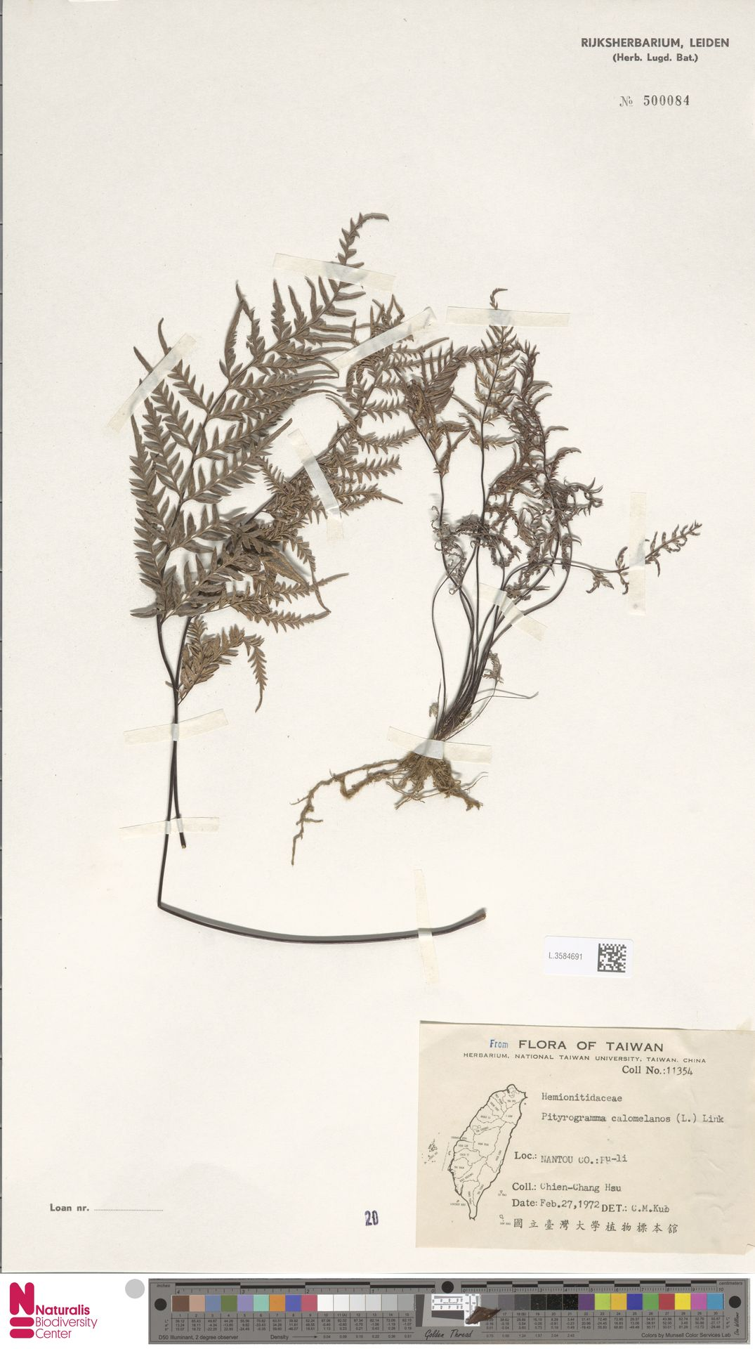 L.3584691 | Pityrogramma calomelanos (L.) Link
