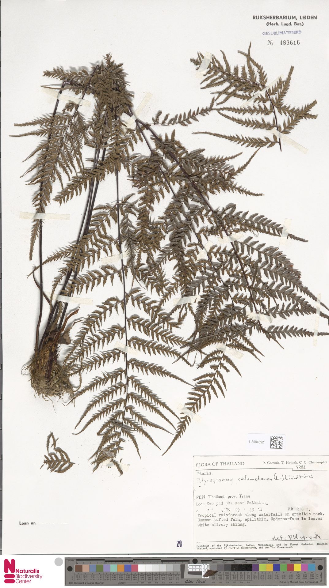 L.3584692 | Pityrogramma calomelanos (L.) Link