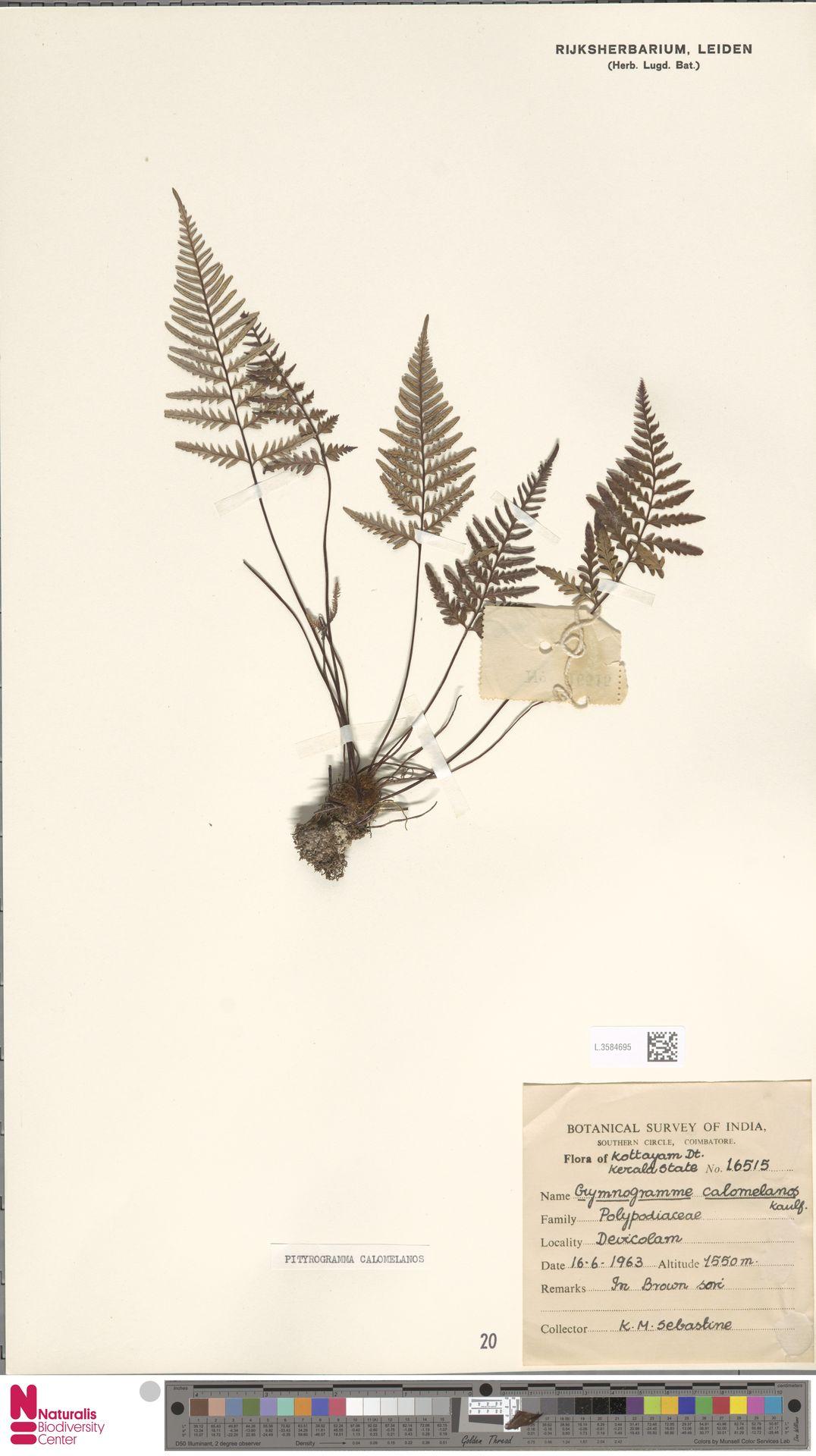 L.3584695   Pityrogramma calomelanos (L.) Link