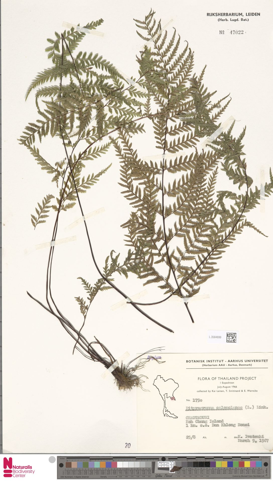 L.3584699   Pityrogramma calomelanos (L.) Link