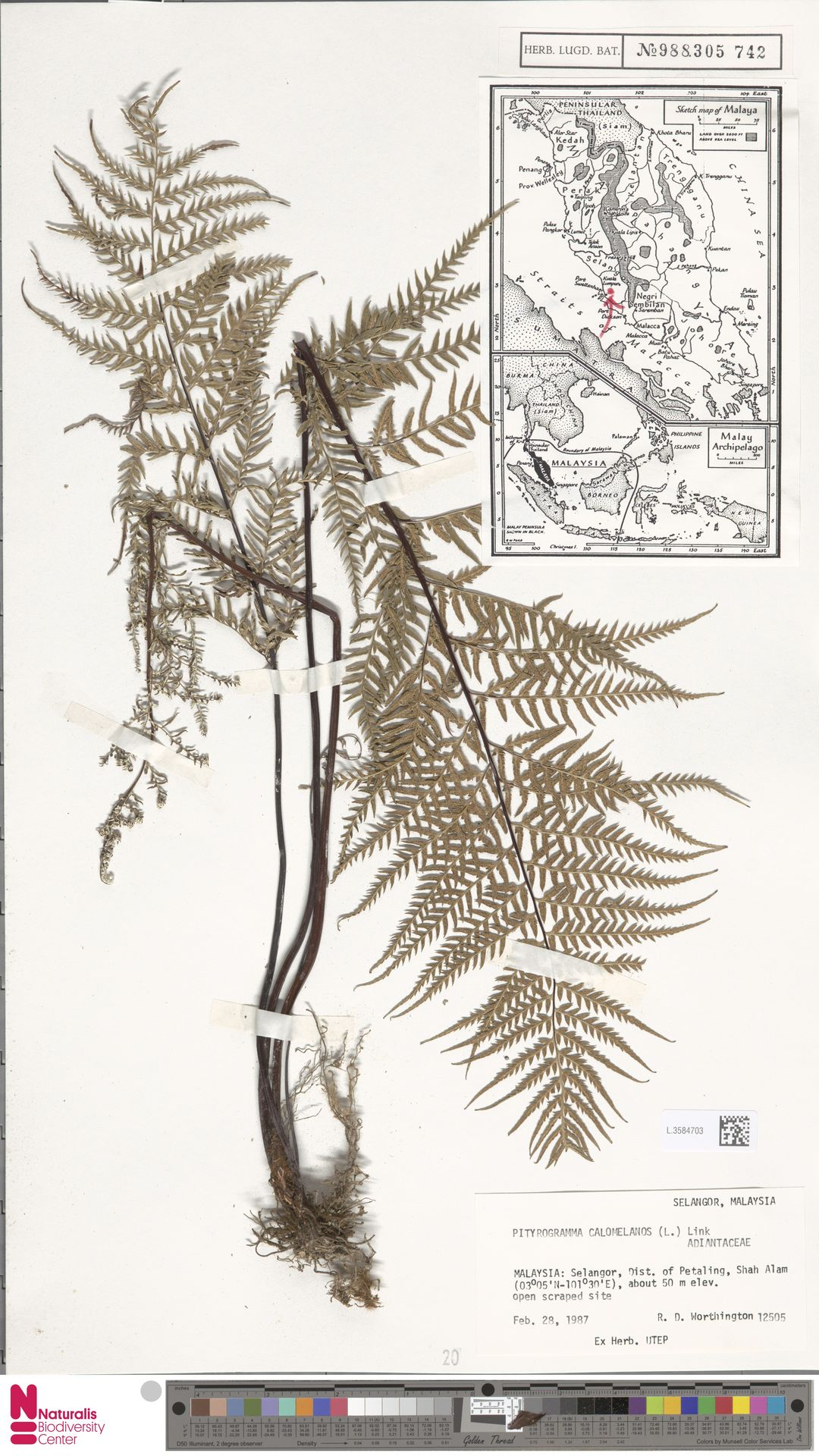 L.3584703 | Pityrogramma calomelanos (L.) Link