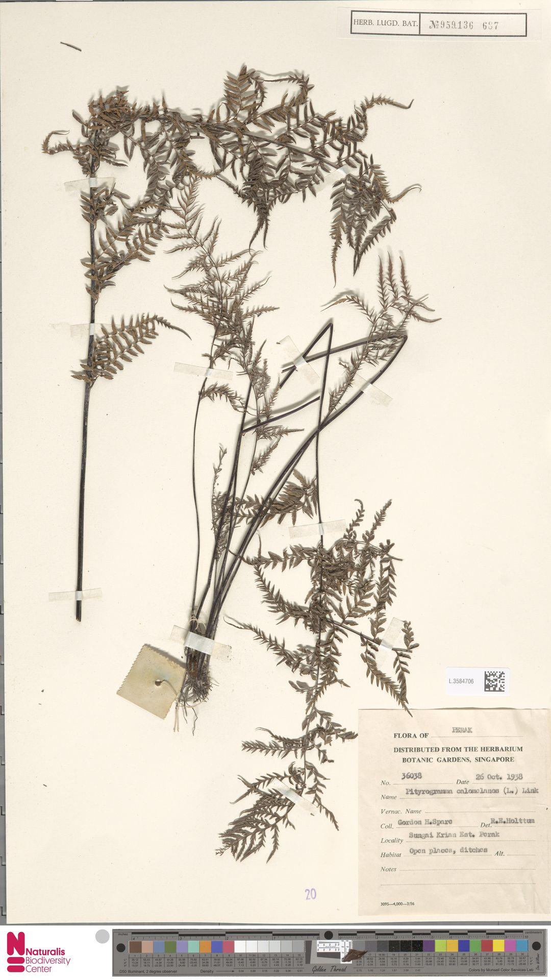 L.3584706 | Pityrogramma calomelanos (L.) Link