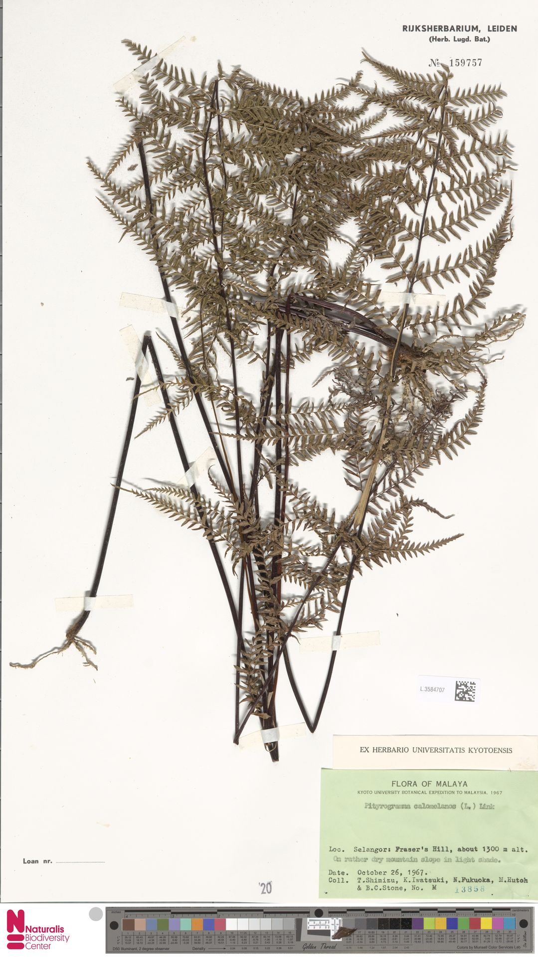 L.3584707 | Pityrogramma calomelanos (L.) Link