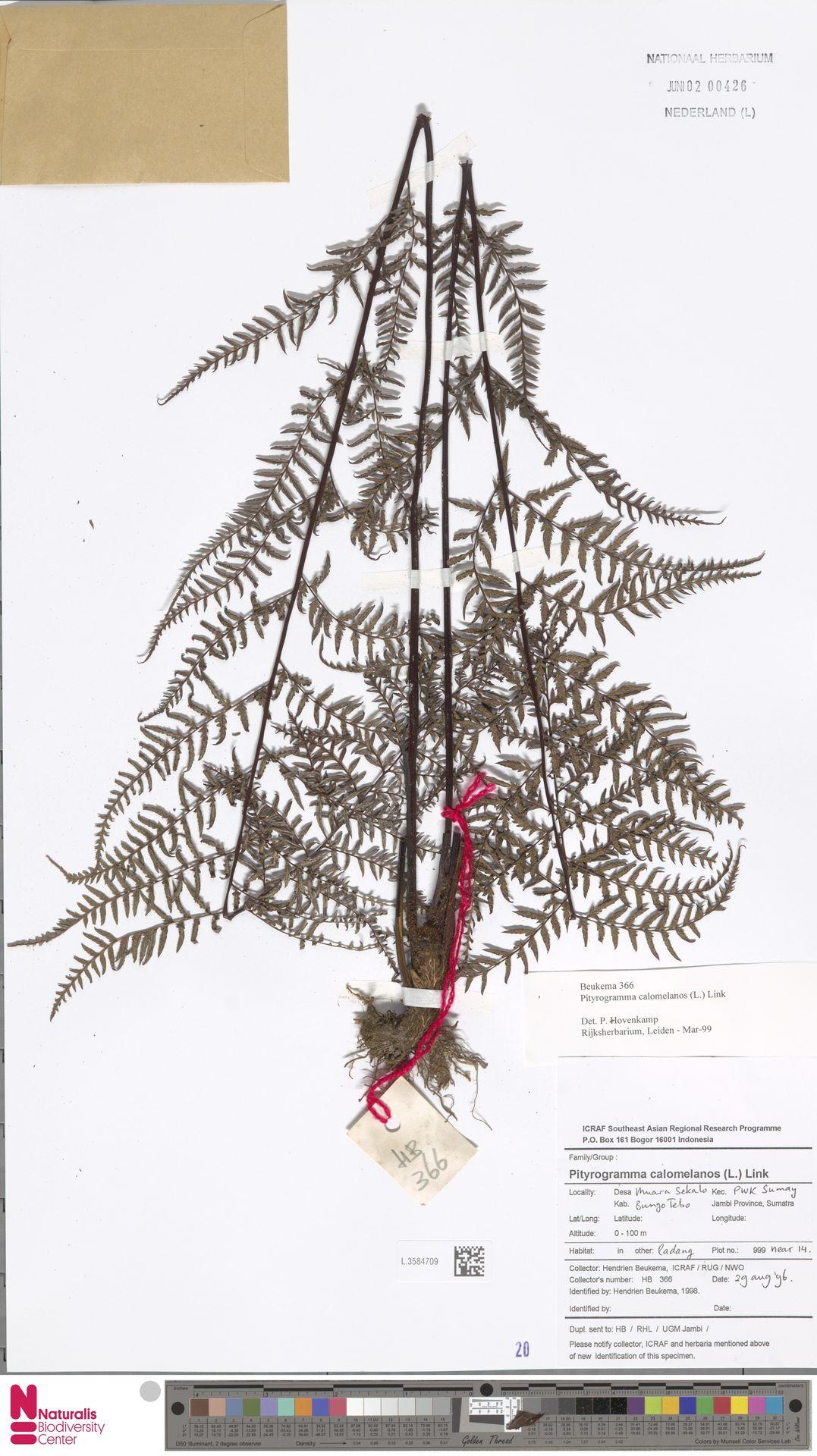 L.3584709 | Pityrogramma calomelanos (L.) Link