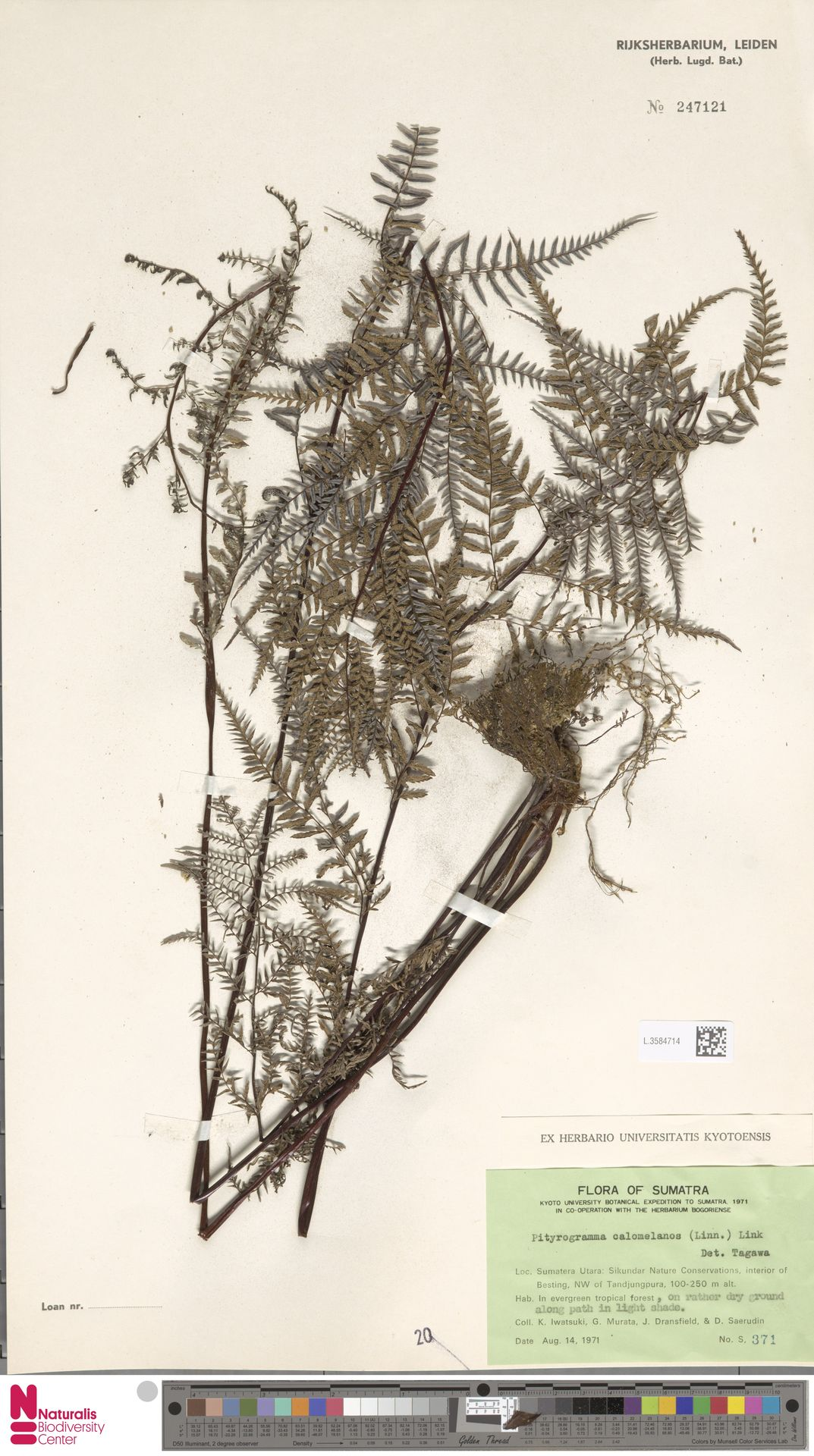 L.3584714 | Pityrogramma calomelanos (L.) Link