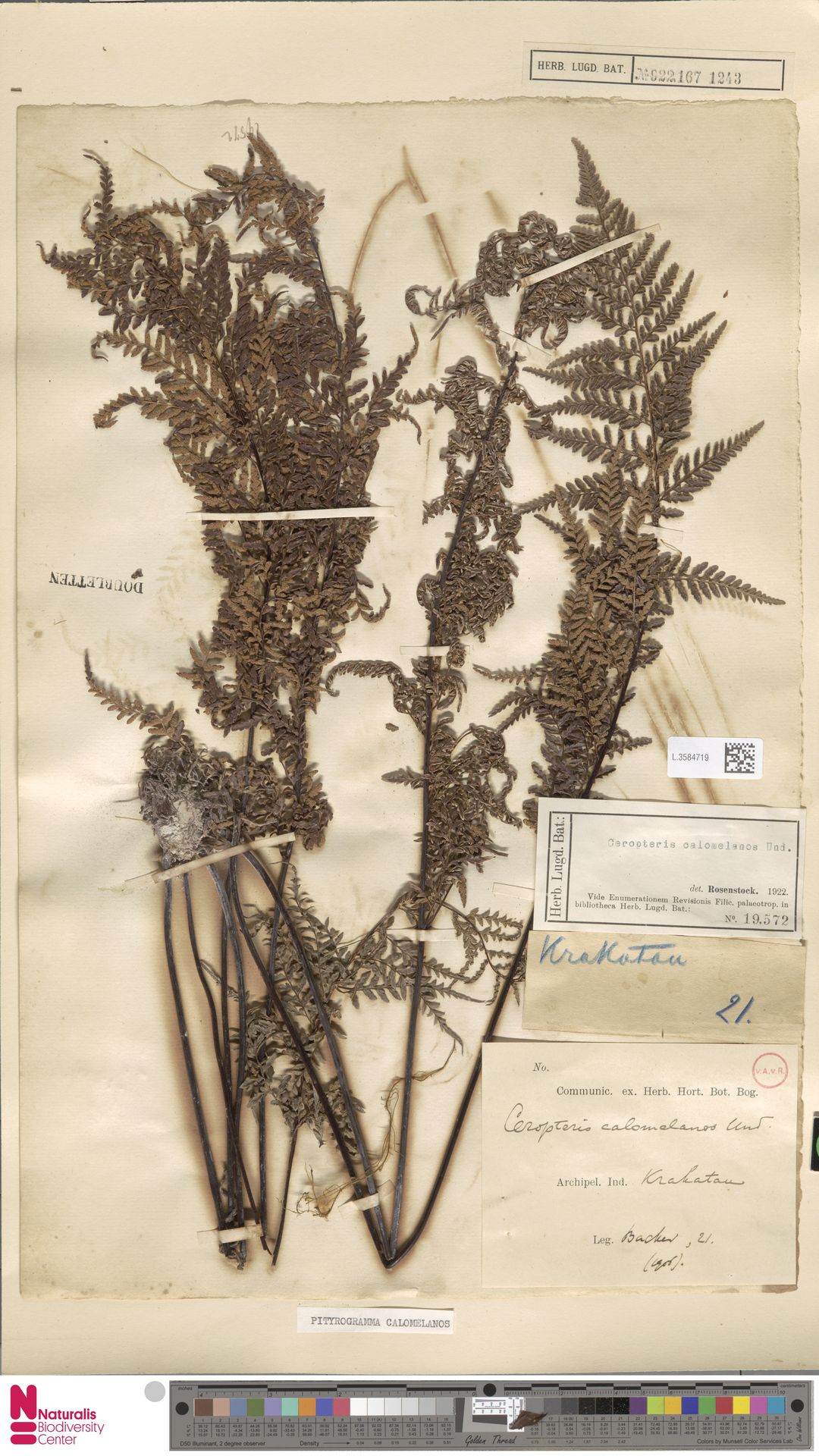 L.3584719 | Pityrogramma calomelanos (L.) Link