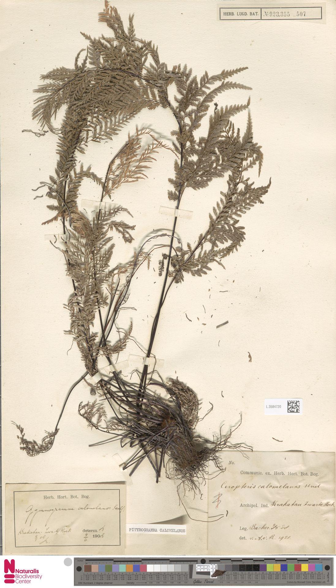 L.3584720 | Pityrogramma calomelanos (L.) Link