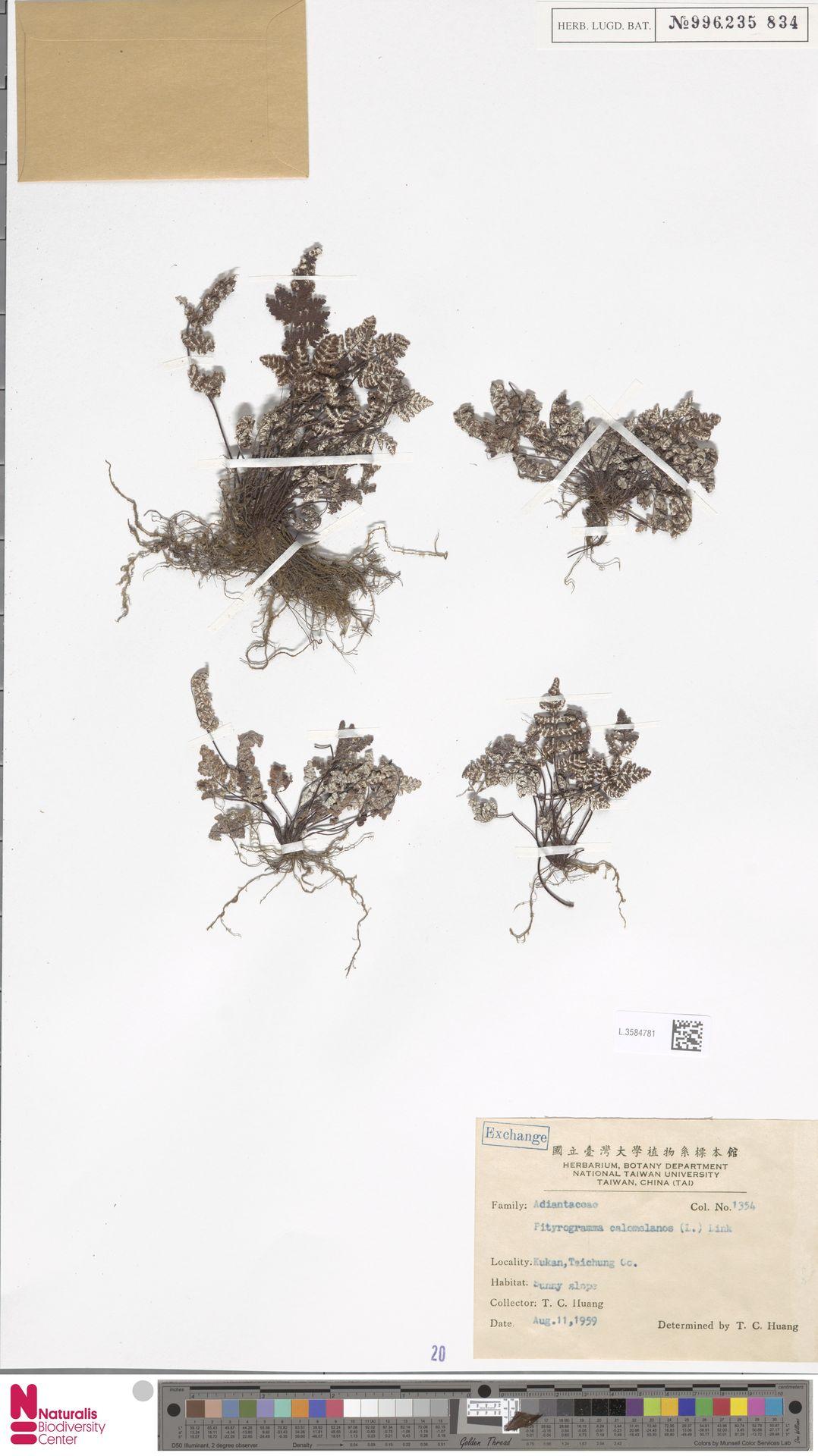 L.3584781 | Pityrogramma calomelanos (L.) Link